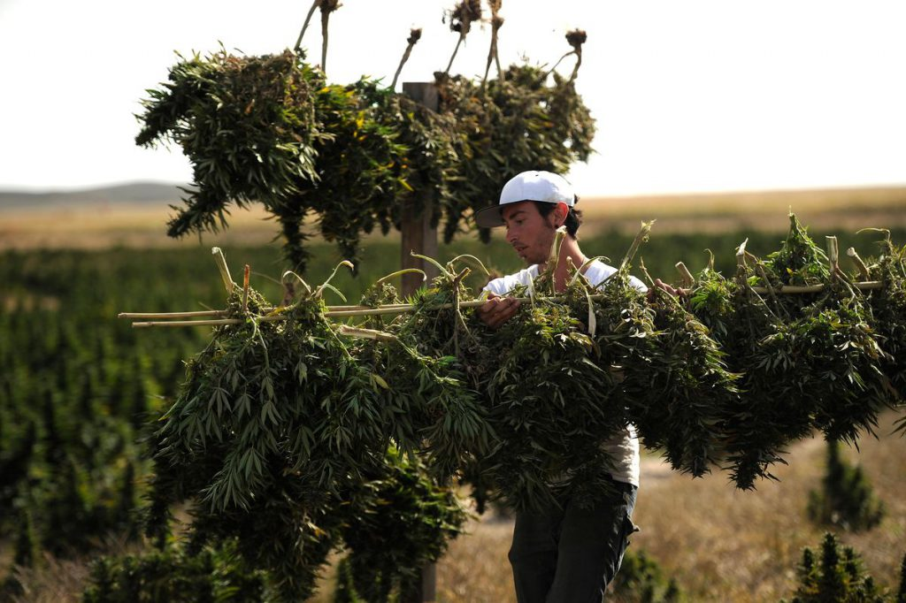 """""""Cannabis Treats COVID-19"""" Rallied Weed Stocks. Cannabis Might Help Pandemic– If Someone Pays To Learn."""